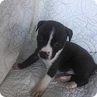 Adopt A Pet :: Noah (Addys litter) - Wenonah, NJ
