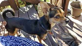 Chihuahua Mix Dog for adoption in Springfield, Missouri - Bo