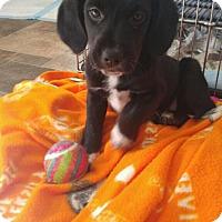 Adopt A Pet :: Storm (RBF) - Washington, DC