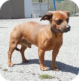 Dachshund/Chihuahua Mix Dog for adoption in Staunton, Virginia - Rocky