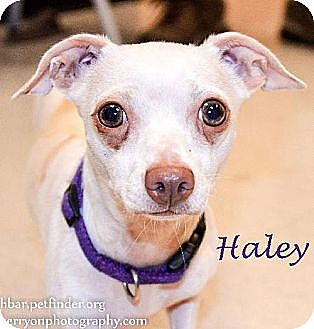 Chihuahua Dog for adoption in Bedford, Texas - Halley