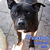 English Bulldog/Labrador Retriever Mix Dog for adoption in Boaz, Alabama - Waterboy