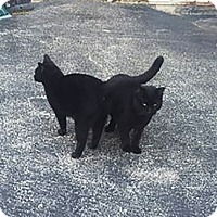 Adopt A Pet :: 2 Black Cats - Barn Cats - Lombard, IL