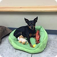 Adopt A Pet :: Pixie - Nashville, TN