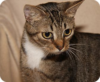 Domestic Shorthair Cat for adoption in Marietta, Ohio - Bella (Spayed) (Empty-Nester)