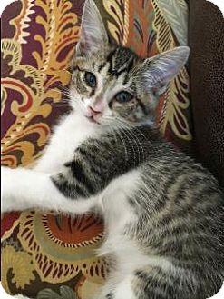 Domestic Shorthair Cat for adoption in Pt. Richmond, California - BEAU