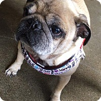 Pug Dog for adoption in Gardena, California - Alison