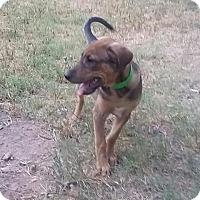 Adopt A Pet :: Farris - Aurora, CO