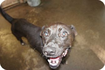 Labrador Retriever Mix Dog for adoption in Henderson, North Carolina - Clark*