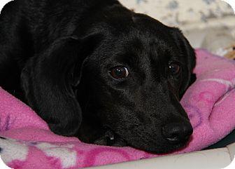 Labrador Retriever Mix Dog for adoption in Marietta, Ohio - Jewels