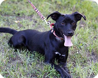 Labrador Retriever Mix Dog for adoption in Manchester, Connecticut - Happy-pending adoption