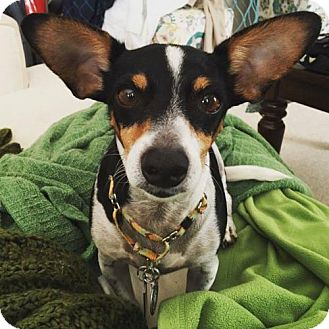 Rat Terrier Mix Dog for adoption in Princeton, Minnesota - Chico