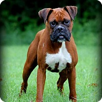 Boxer Dog for adoption in Newport, Kentucky - Dawson