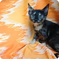 Calico Kitten for adoption in Dallas, Texas - Dove