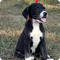 Adopt A Pet :: Socks/PENDING - Waterbury, CT