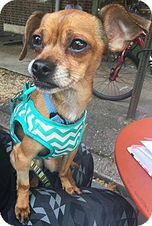 Chihuahua Mix Dog for adoption in Philadelphia, Pennsylvania - Caesar
