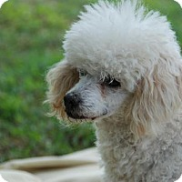 Poodle (Miniature) Dog for adoption in Spartanburg, South Carolina - Romeo
