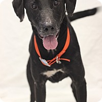 Labrador Retriever Mix Dog for adoption in Bradenton, Florida - Cooper