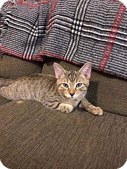 Domestic Shorthair Kitten for adoption in Columbus, Ohio - Cayman