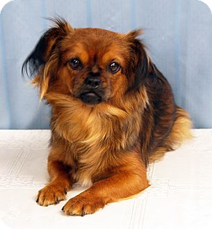 Pekingese Mix Dog for adoption in Maynardville, Tennessee - Ruby