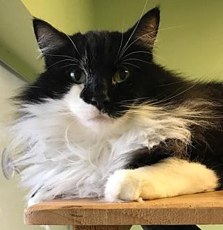 Domestic Mediumhair Cat for adoption in Auburn, California - Mercedes