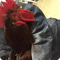 Chicken for adoption in Methuen, Massachusetts - REUBEN