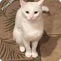 Adopt A Pet :: Blizzard - Bentonville, AR