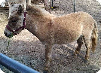 Donkey/Mule/Burro/Hinny Mix for adoption in Malvern, Iowa - Donte