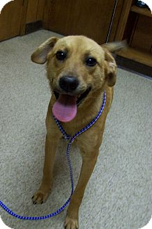 Labrador Retriever/Hound (Unknown Type) Mix Dog for adoption in Glastonbury, Connecticut - CLINE