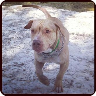 Pit Bull Terrier/Basset Hound Mix Dog for adoption in Pflugerville, Texas - Percy