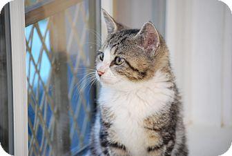 Domestic Shorthair Kitten for adoption in Bensalem, Pennsylvania - Fizz