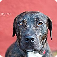 Adopt A Pet :: Champ - Reisterstown, MD