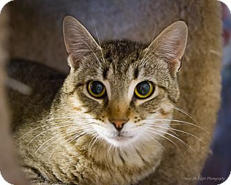 Domestic Shorthair Cat for adoption in Bulverde, Texas - Barnie