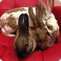 Adopt A Pet :: Nickels - Los Angeles, CA