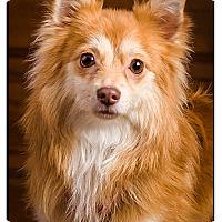 Adopt A Pet :: Sammie - Owensboro, KY