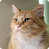 Adopt A Pet :: Orangie - Chicago, IL