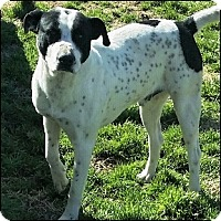 Pointer Mix Dog for adoption in Shreveport, Louisiana - Andy