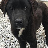 Adopt A Pet :: BOO - Cadiz, OH