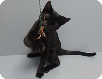 Domestic Shorthair Cat for adoption in Seguin, Texas - Gomez