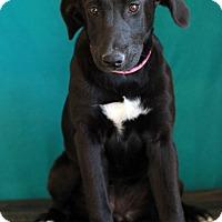 Adopt A Pet :: Ginny - Waldorf, MD