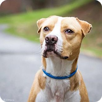 American Bulldog/Labrador Retriever Mix Dog for adoption in Columbia, Maryland - Cooper