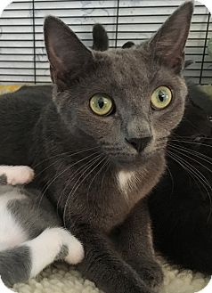 Russian Blue Cat for adoption in Wayne, New Jersey - Clarity