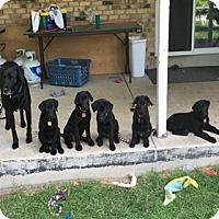 Adopt A Pet :: Vanessa - Broomfield, CO