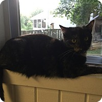 Domestic Shorthair Cat for adoption in Baltimore, Maryland - Cami