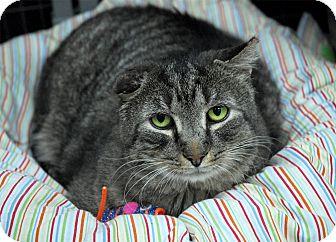 Domestic Shorthair Cat for adoption in Winchendon, Massachusetts - Apollo