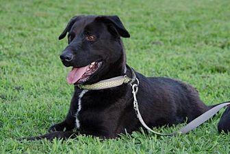 Labrador Retriever Mix Dog for adoption in Midlothian, Virginia - Hotdog