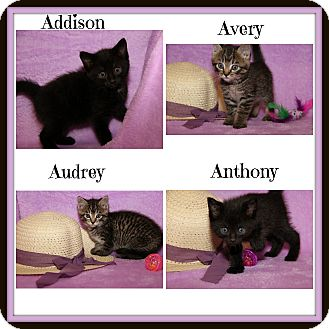 Domestic Shorthair Kitten for adoption in Marietta, Ohio - Addison Anthony Audrey Avery