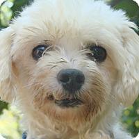 Adopt A Pet :: Sonny - St Louis, MO