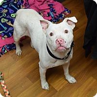 Adopt A Pet :: Marshmallow - Lisbon, OH