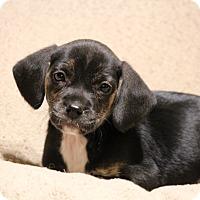 Adopt A Pet :: Cher - Yadkinville, NC
